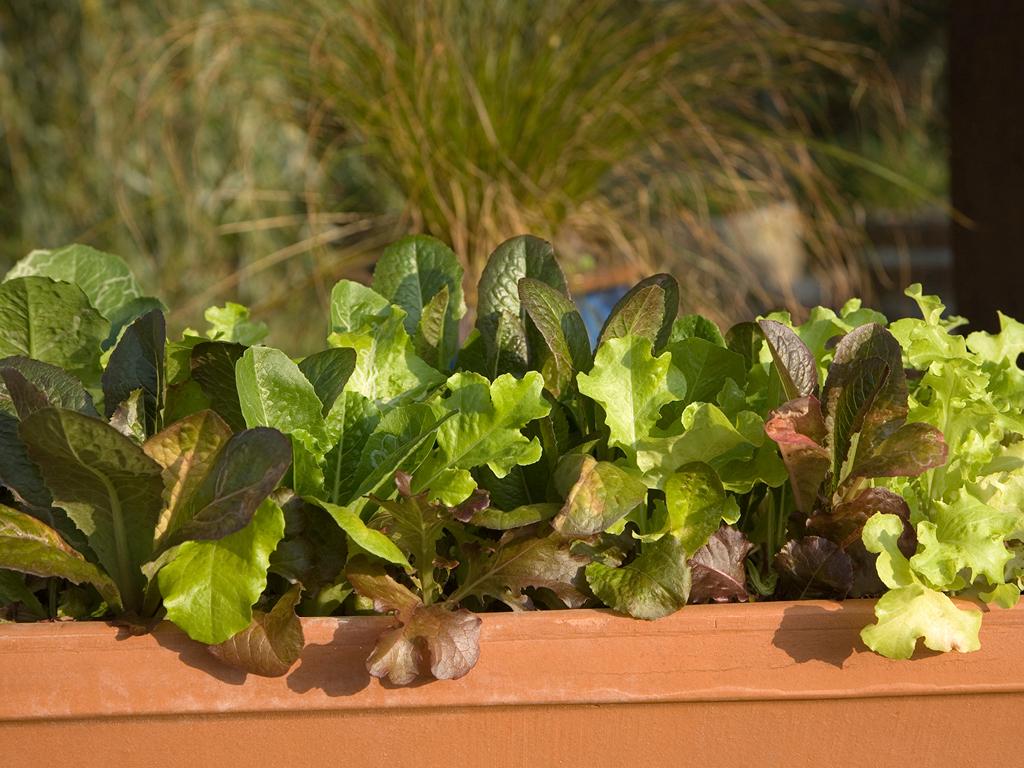 Mesclun et salade en jardiniere