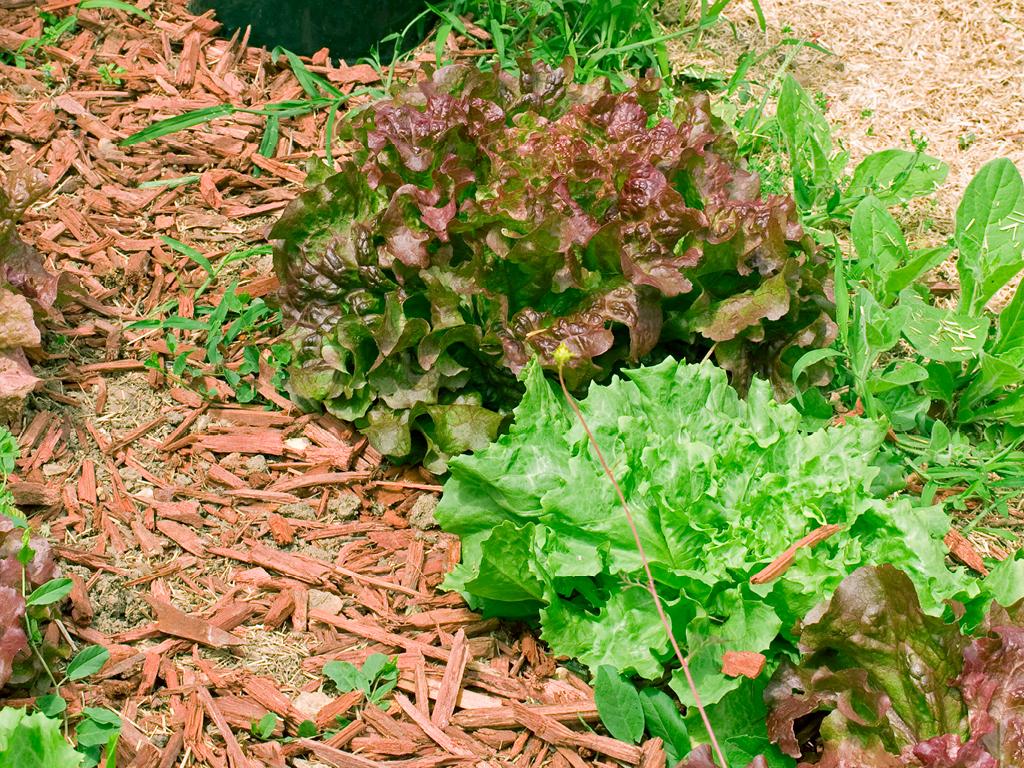Paillage salade potager