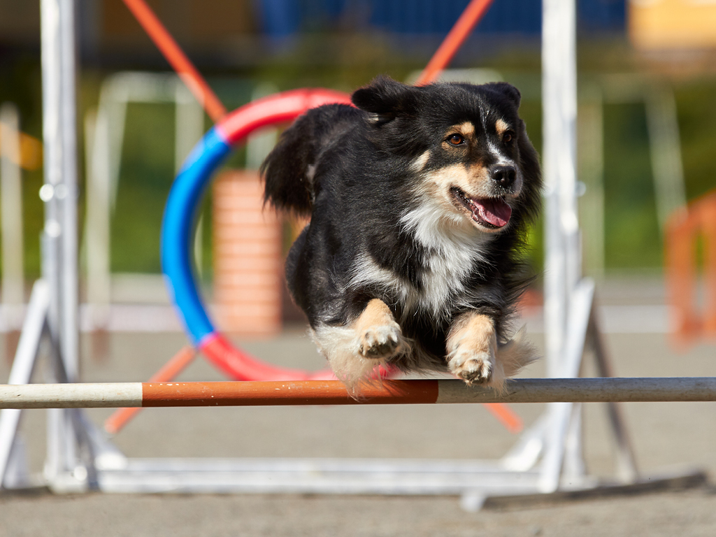 Agility sport chien