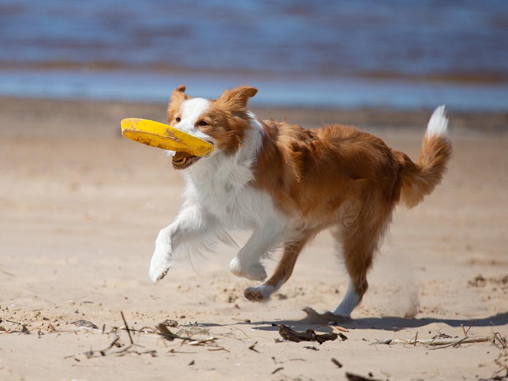 Freesbee sport chien