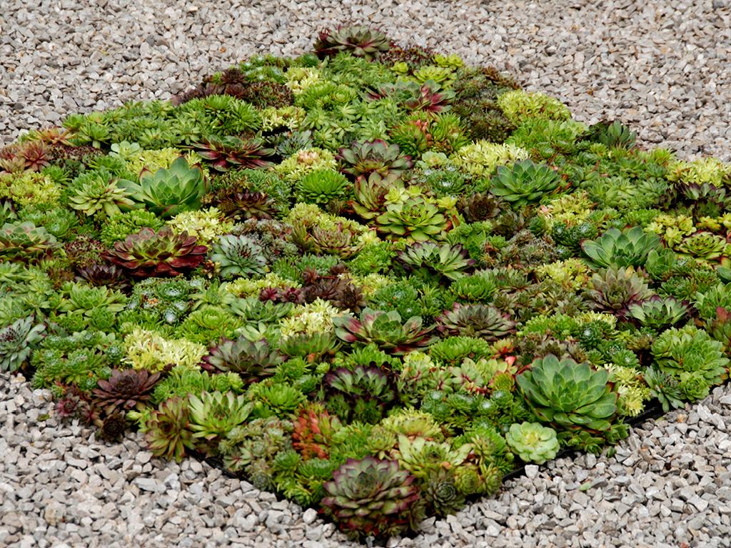 Habillage joubarbe sol - jardin sec