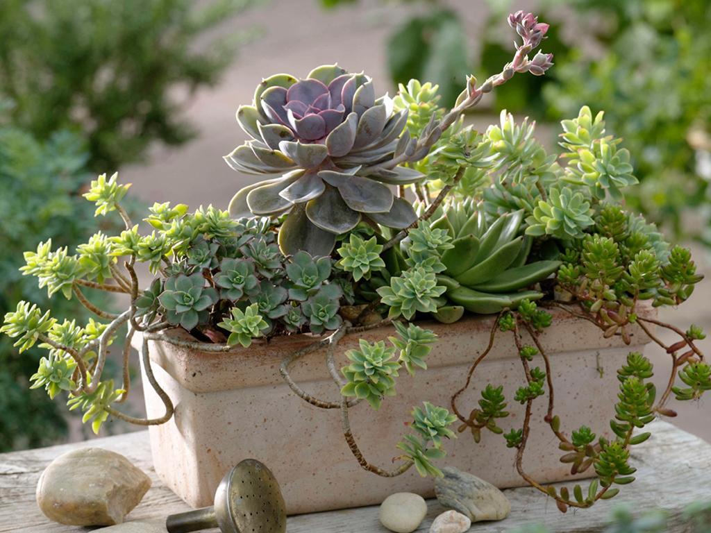 Joubarbe en jardiniere-jardin sec