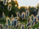 Plante doudou-Lagurus ovatus bis