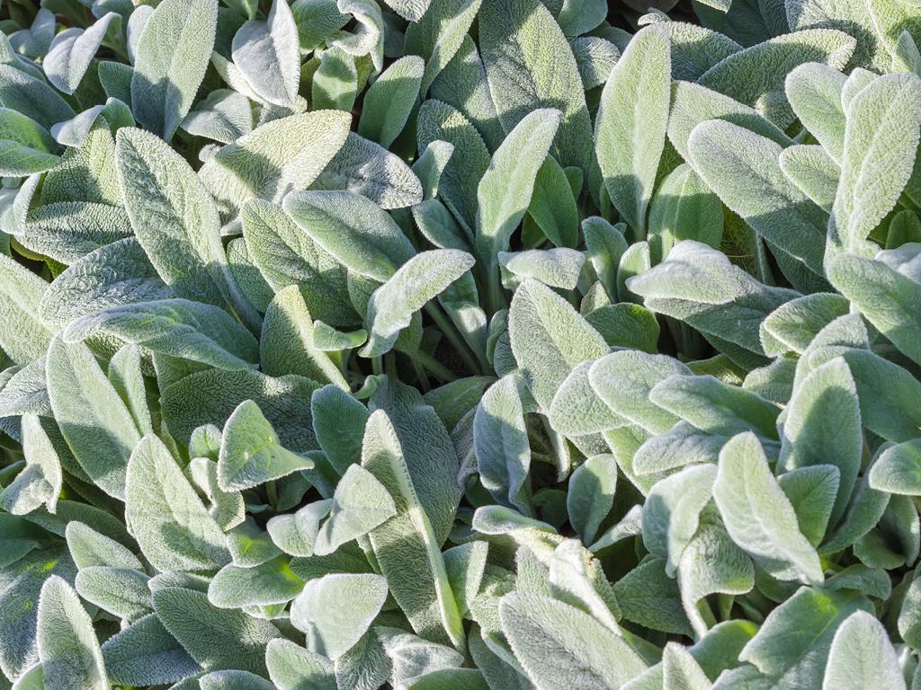 Stachys lanata-plante doudou