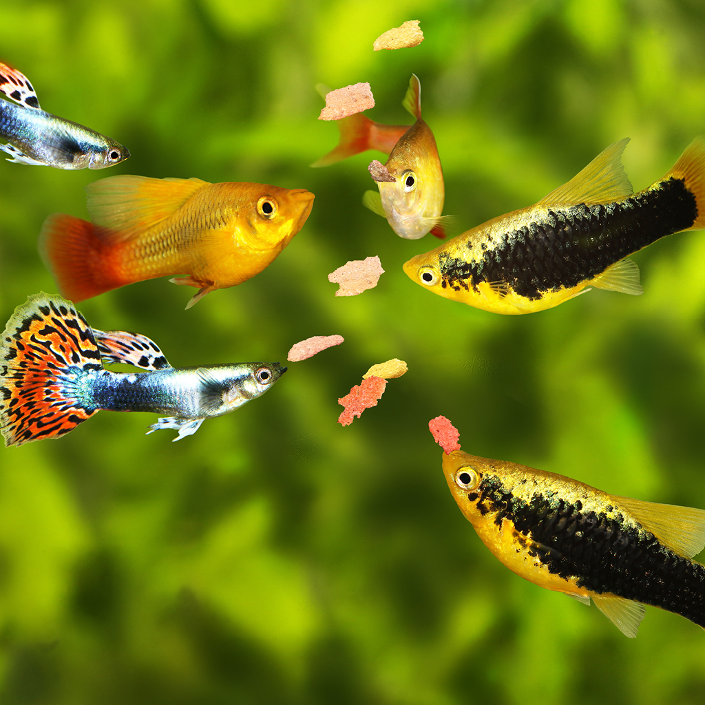 Poisson aquarium alimentation