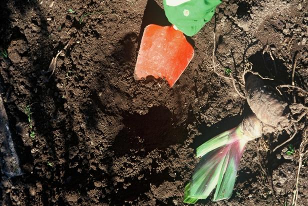 Planter des iris dans son jardin