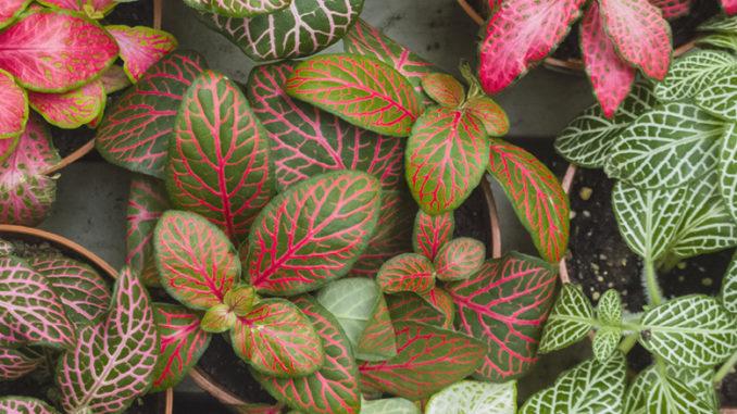 Fittonias variétés feuillage coloré