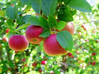 Pommes sur arbre dans verger