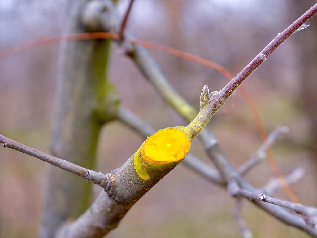 Soin plaie arbre