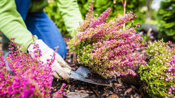 bruyere-fleurs-jardin-automne-hiver