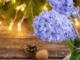 Jacinthe fleur Noel