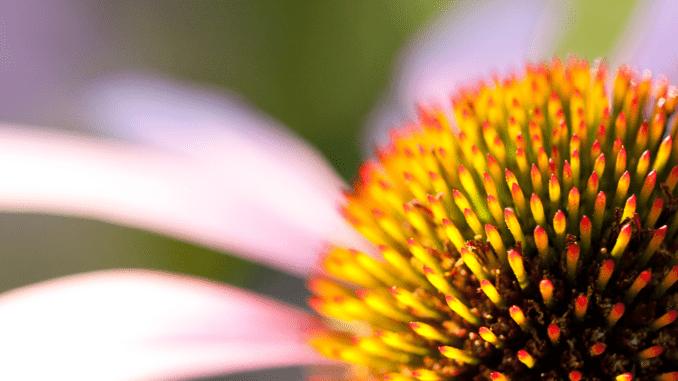 Echinacea-zoom