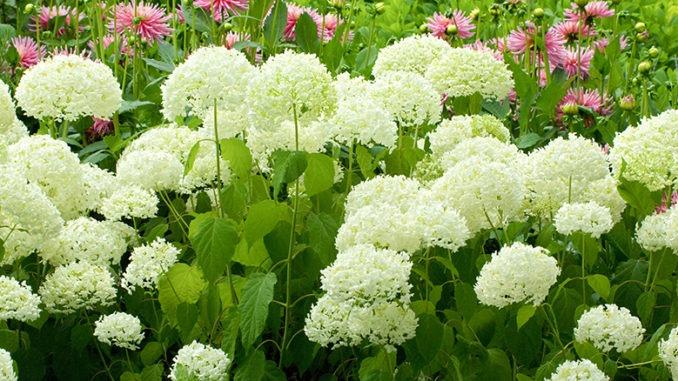 Hortensia 'Anabelle' en fleur dans un jardin