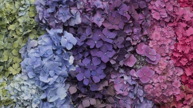 Hortensia camaïeu de violet
