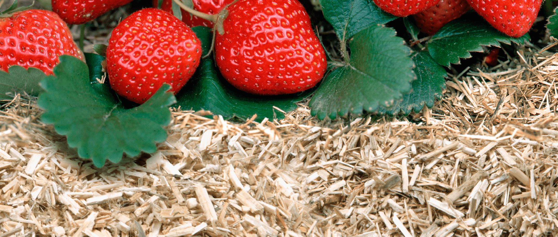Paillis de lin potager fraise