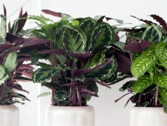 collection marantacee calathea feuillage
