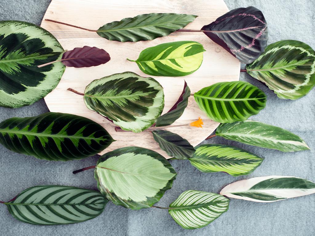 feuilles marantacees calathea