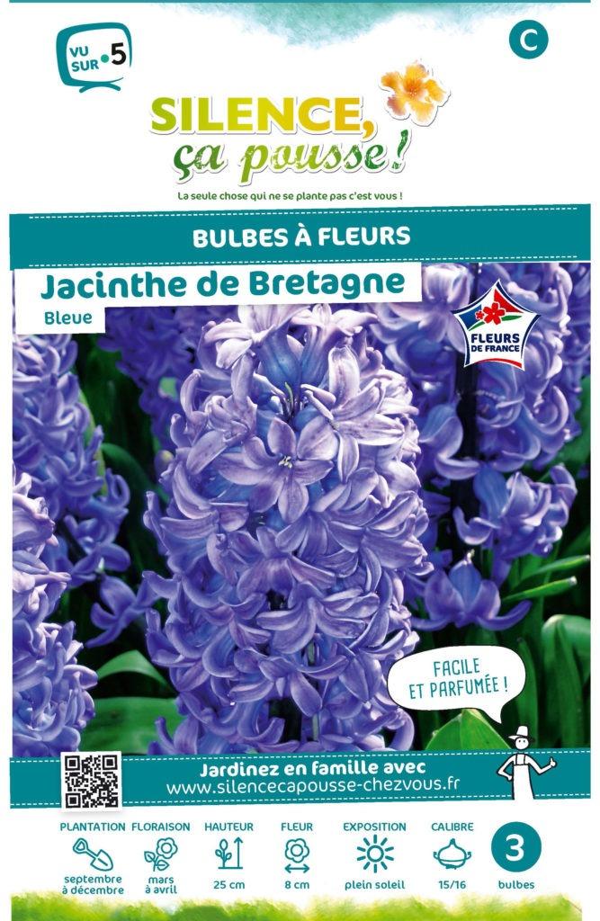 Jacinthe bleue
