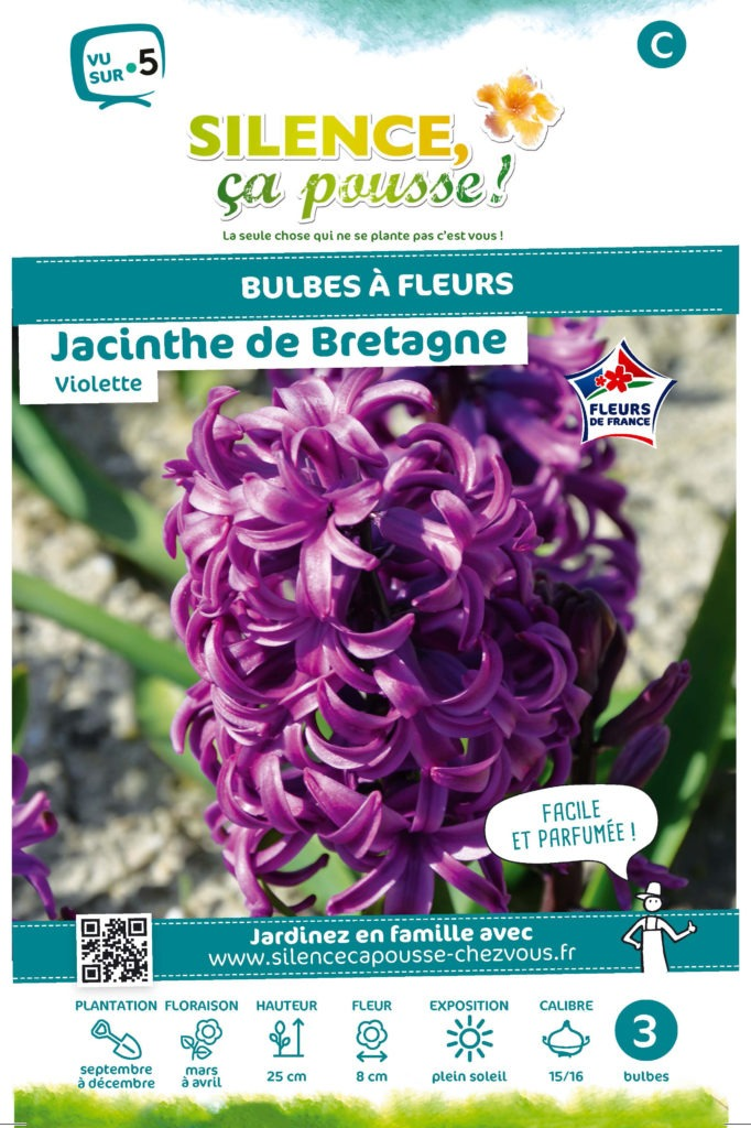 Jacinthe violette